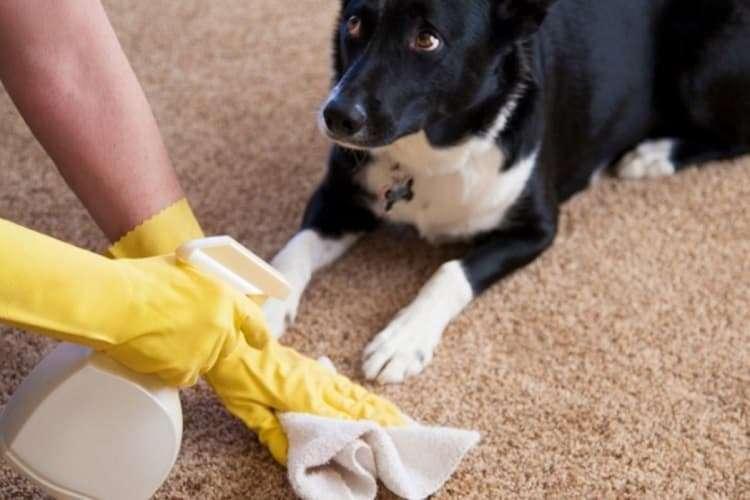 Как убрать собачий запах с ковра своими силами